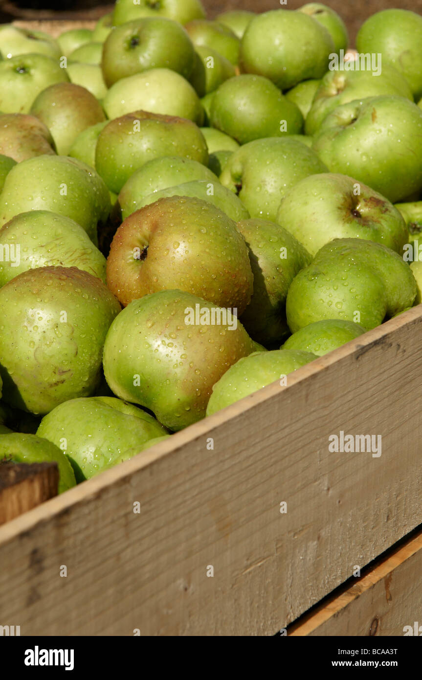 Crate of Armagh Bramley apples waiting to go into storage before being made into cider or apple tart - Stock Image