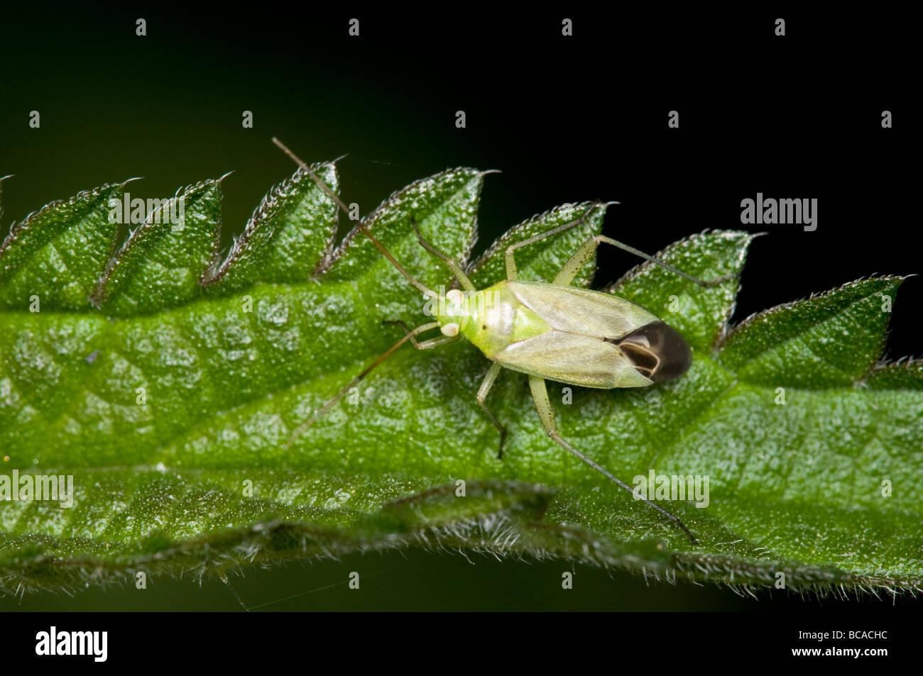 Potato Capsid bug - Stock Image