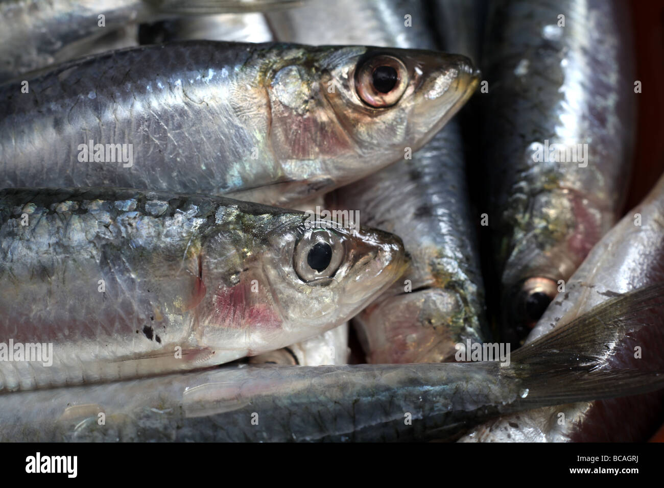 Close up of freshly caught Mediterranean sardines - Stock Image