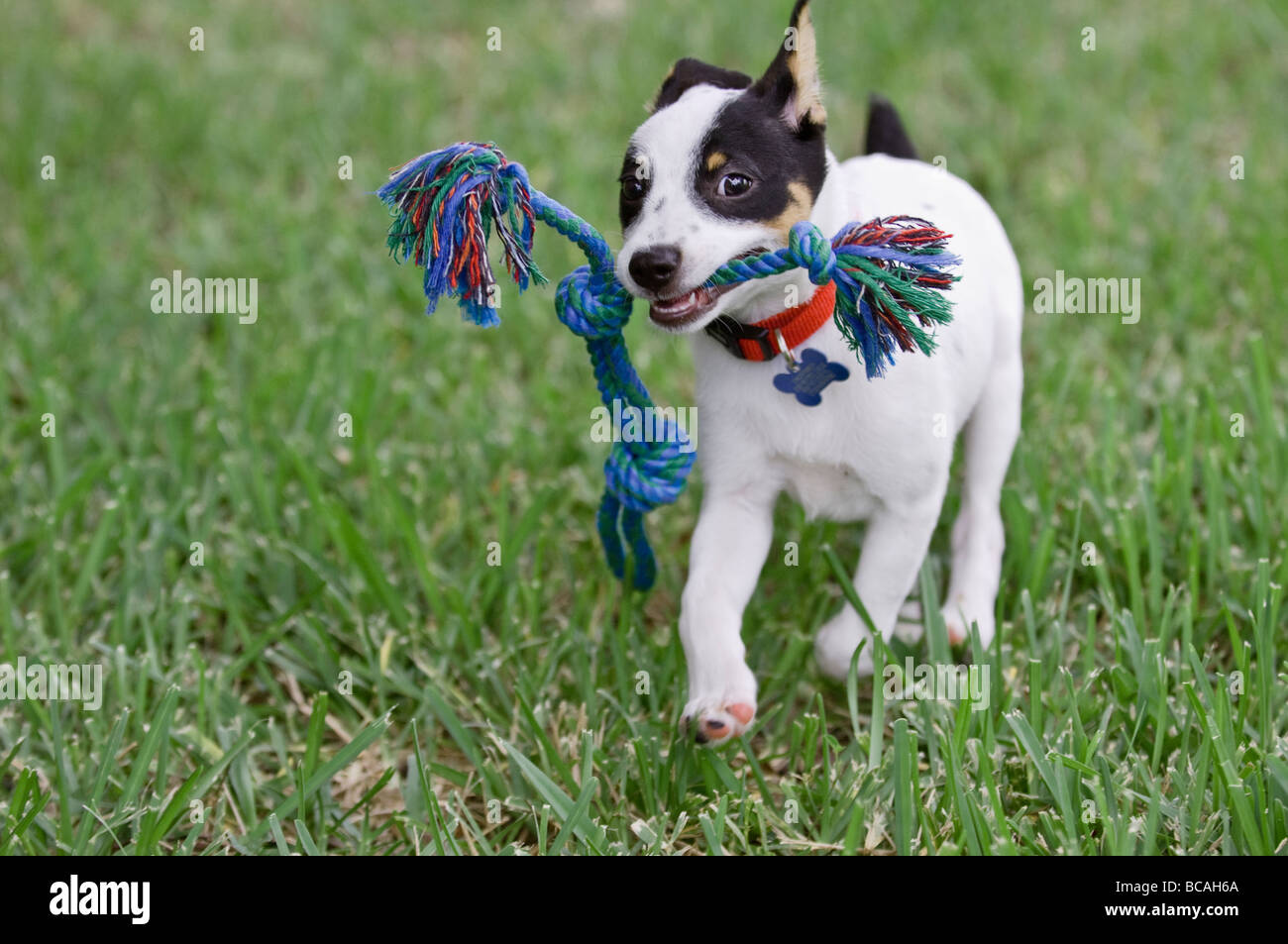 rat terrier puppy fetching rope toy - Stock Image