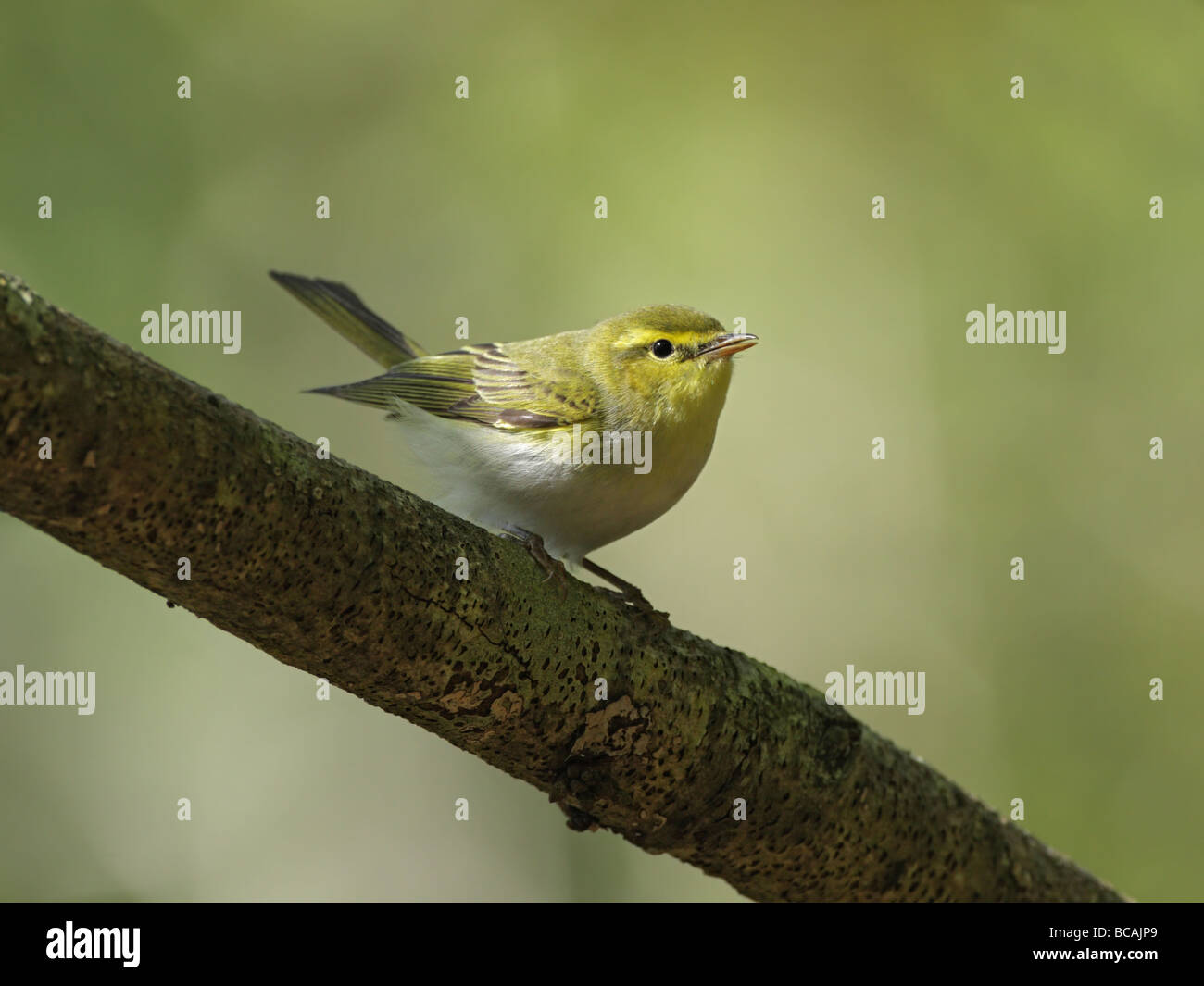Wood warbler, Phlloscopus sibilatrix, perched on branch - Stock Image