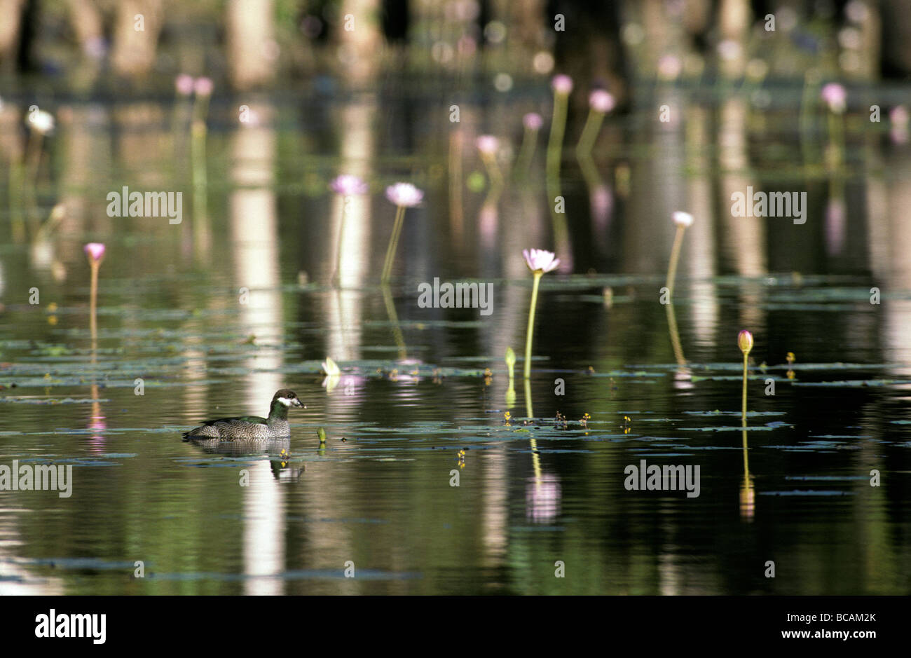 A male Green Pygymy-Goose swims on a wetland covered in water lilies. - Stock Image