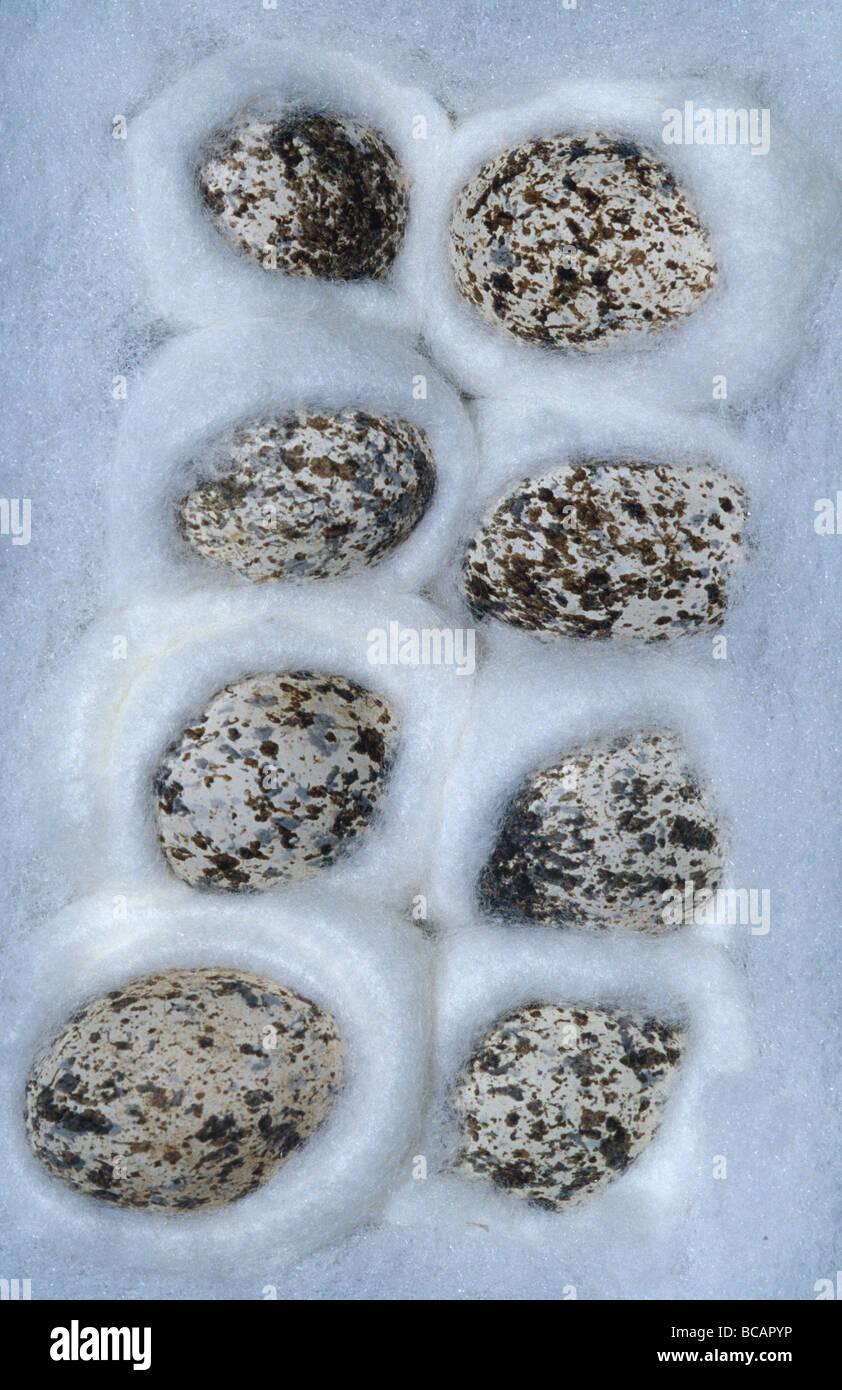 A preserved speckled egg collection displayed in cotton wool. - Stock Image