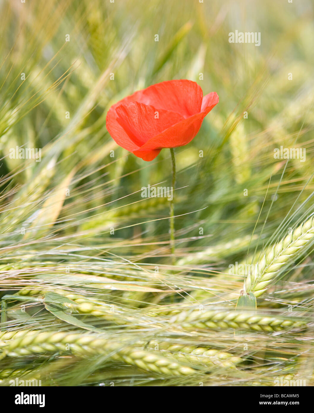 Red Poppy flower in field of wheat in Kent, United Kingdom. - Stock Image