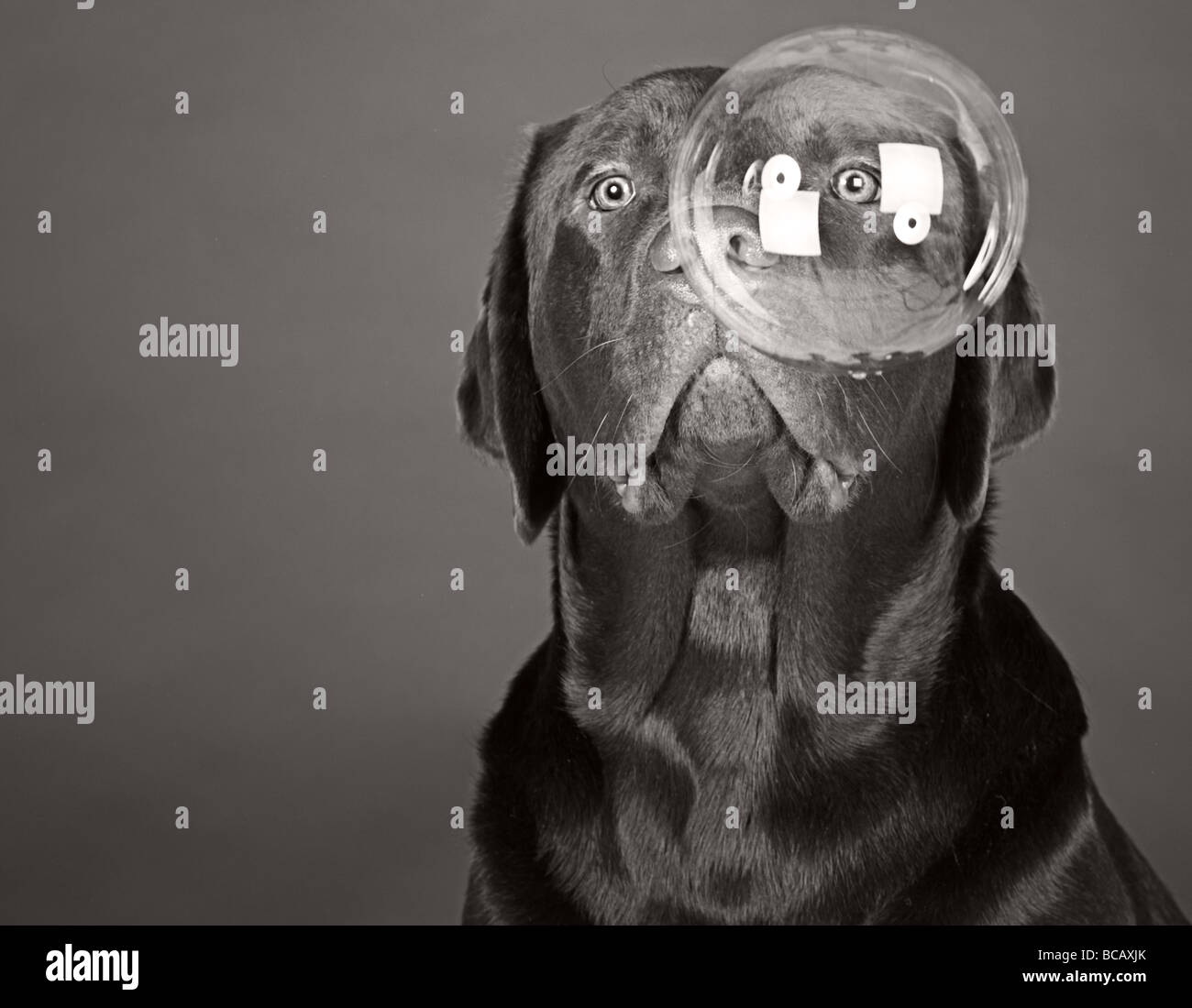 Chocolate Labrador Looking into a Large Bubble - Stock Image