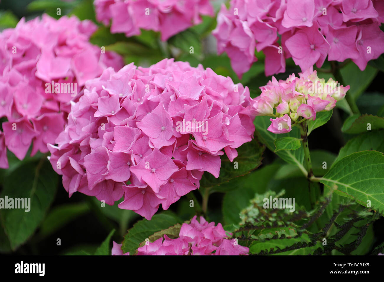 Pink Hydrangea in flower - Stock Image