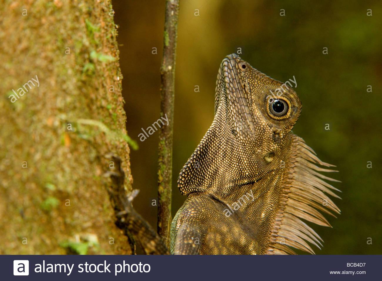 Blue-eyed Angle-headed Lizard (Gonocephalus liogaster) close-up. - Stock Image
