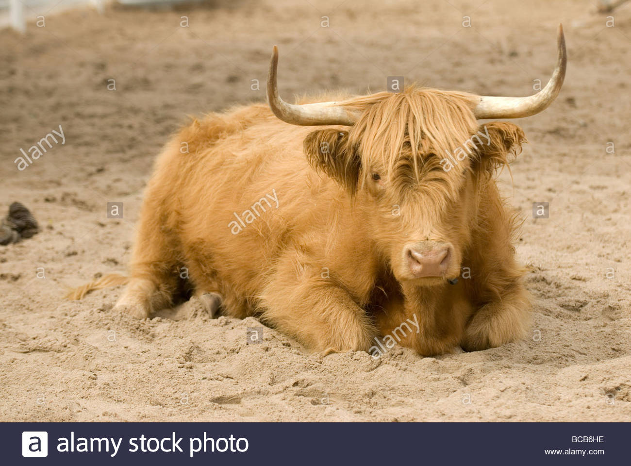 A rare, domestic ox at the Sedgwick County zoo. - Stock Image