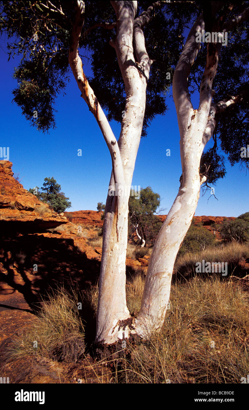 The white tree trunks of Ghost Gum Eucalypts against red sandstone. Stock Photo