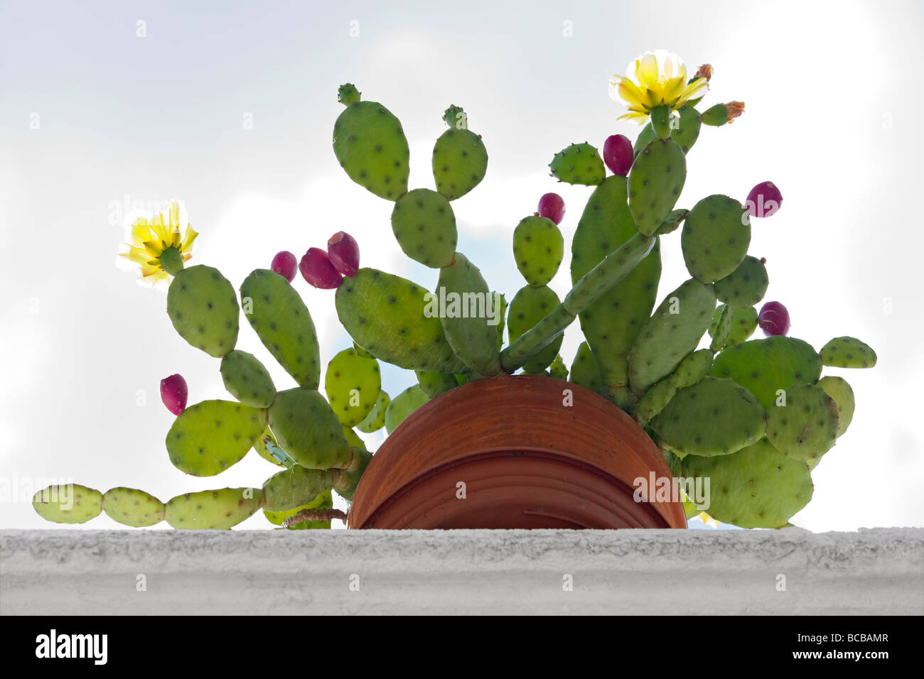 Fleurs En Pot Resistant Au Gel a devil's tongue (opuntia humifusa) in bloom and bearing