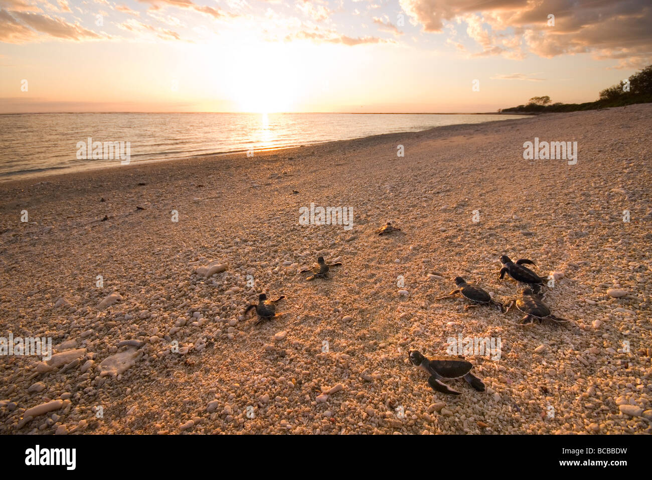 Young Green Turtles making the journey to the water - Stock Image