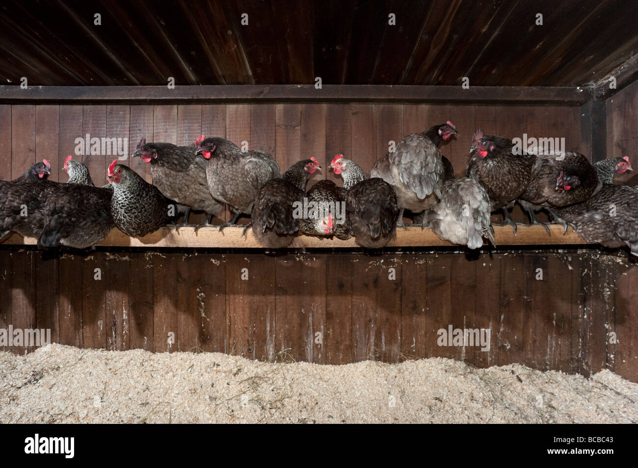 Bluebell and speckledy hens at roost in chicken shed - Stock Image