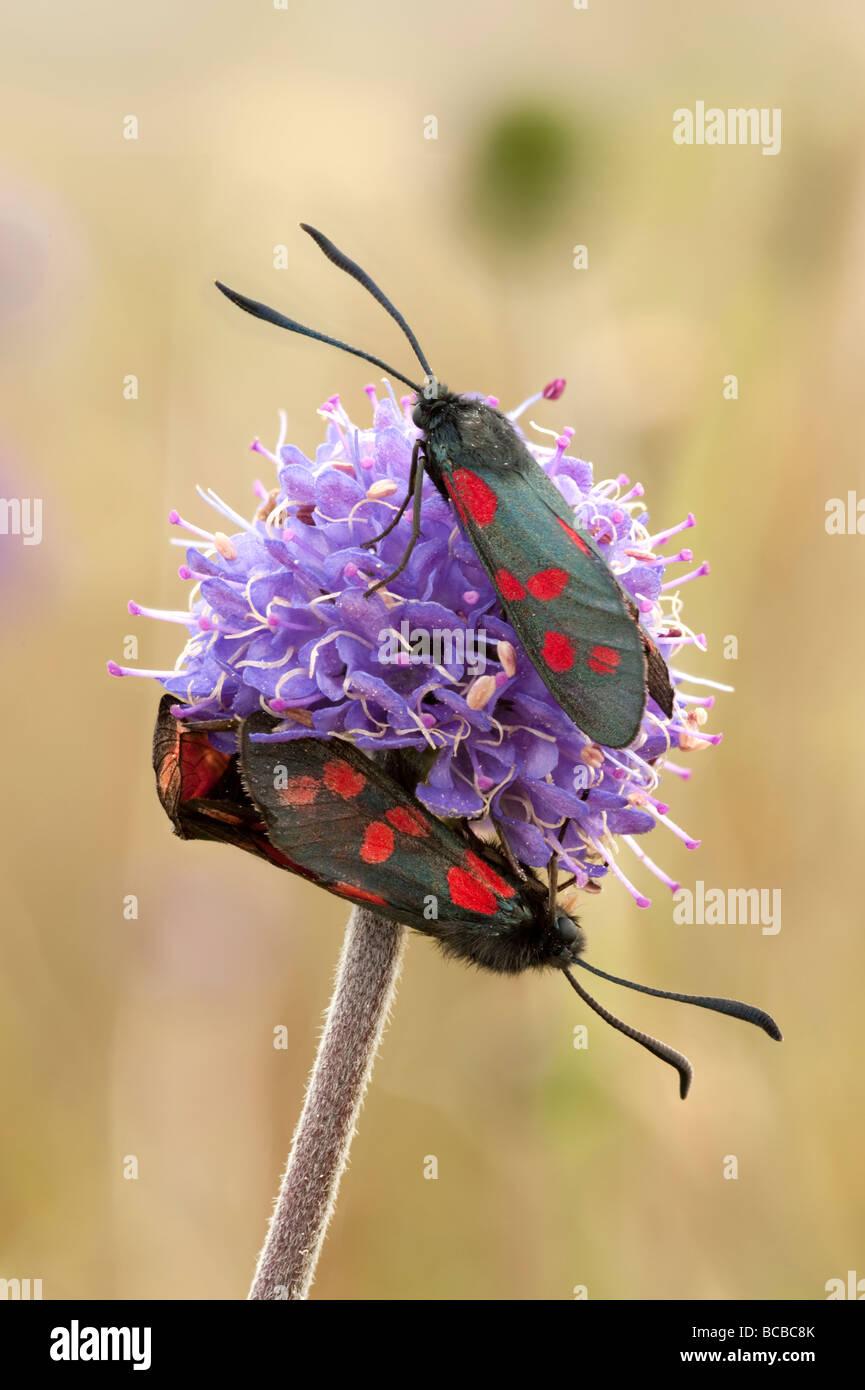 Six-spot burnet moths on devil's-bit scabious - Stock Image