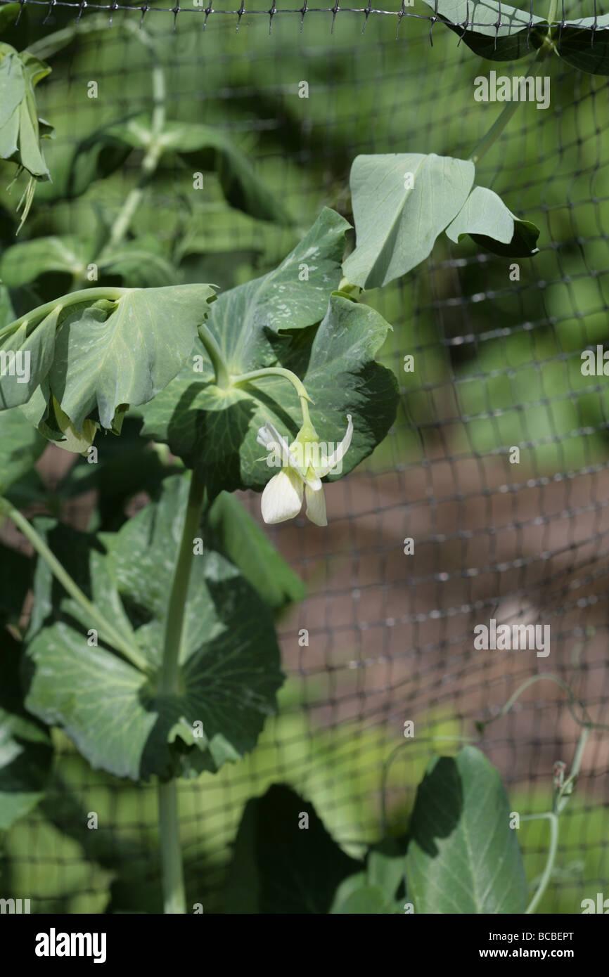 Garden Pea variety Hurst  Greenshaft, growing in a garden, Cheshire England - Stock Image
