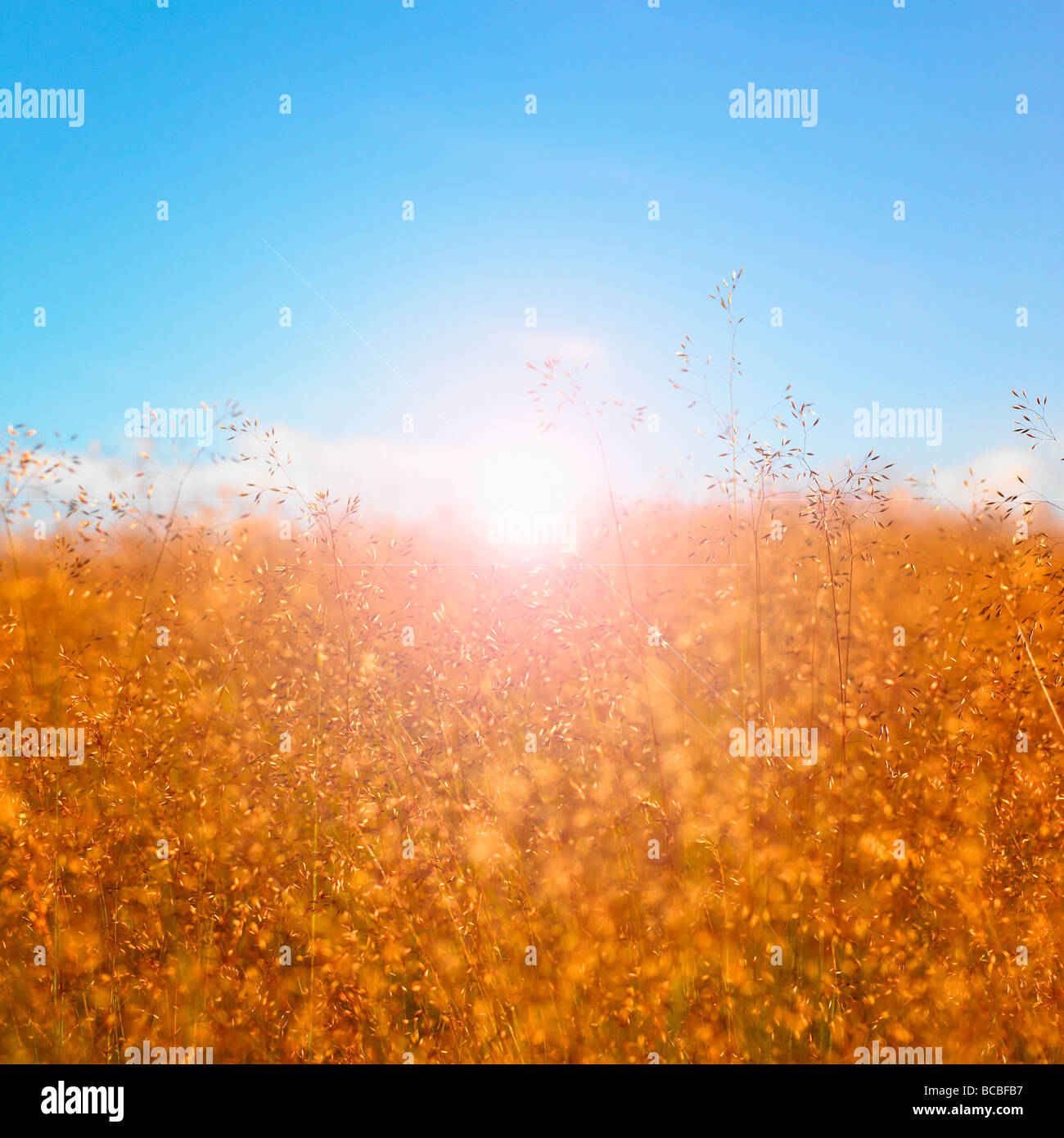 Grass seed heads with blue sky and sun. - Stock Image