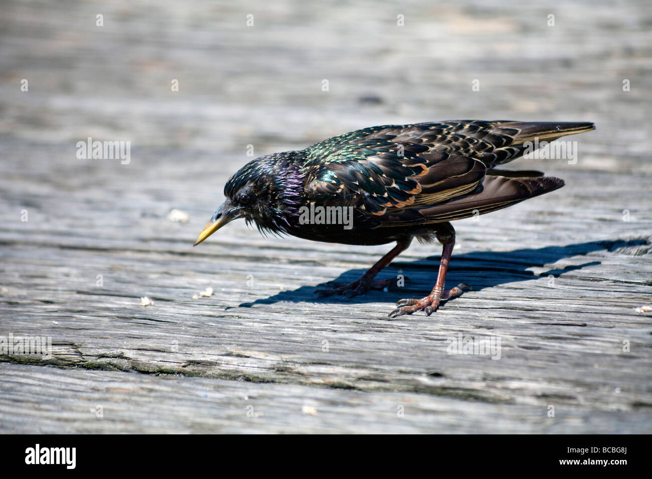starling scavenging for food on Granville Island pier Vancouver, BC, Canada - Stock Image