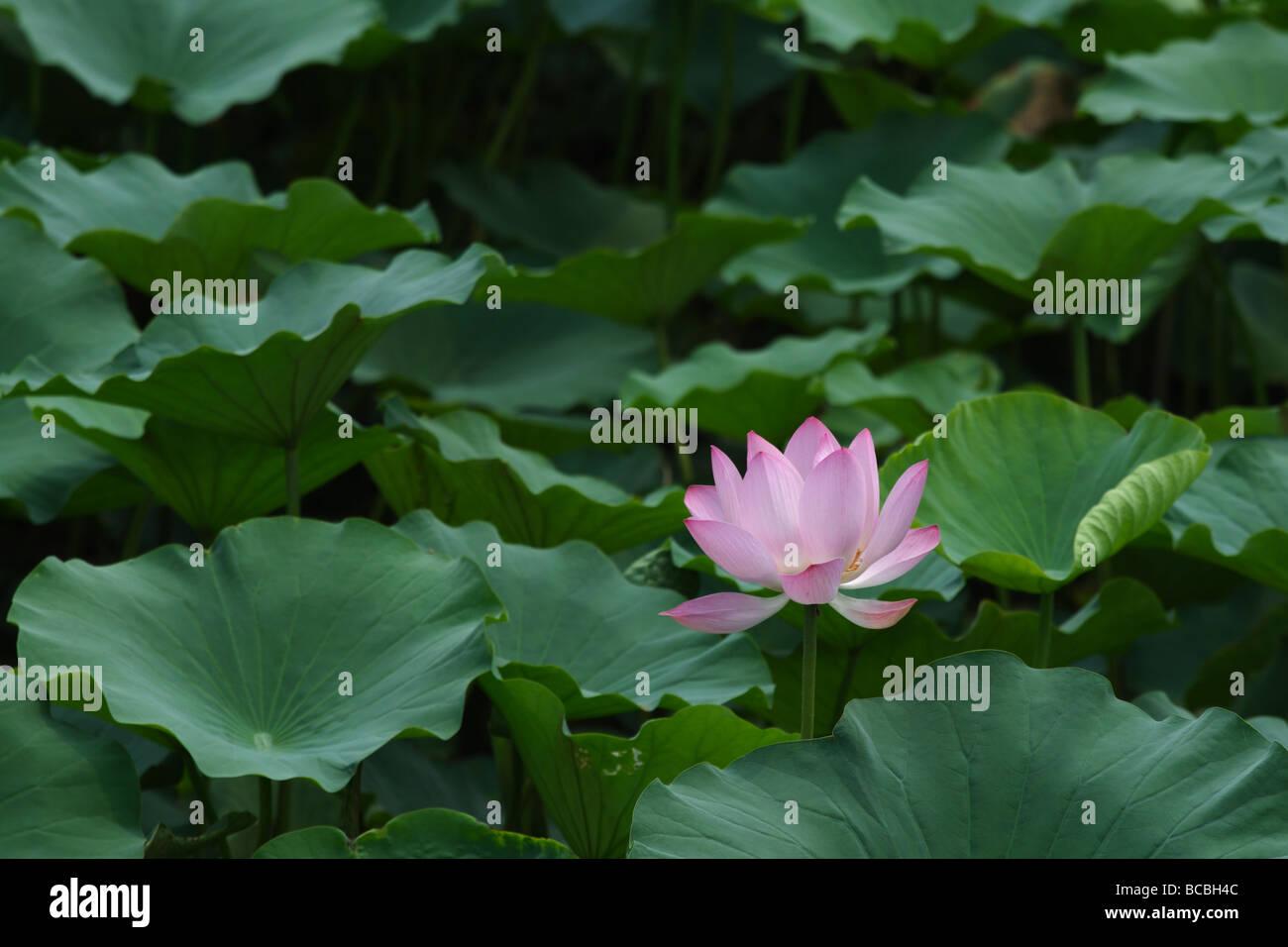 Indian Lotus Root Stock Photos Indian Lotus Root Stock Images Alamy
