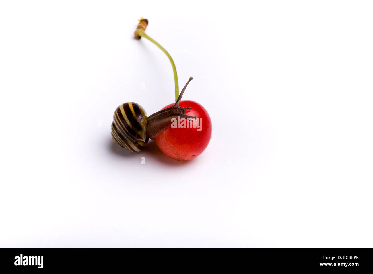 Small red cherry just fallen from tree studio shot against white background with randy garden snail balancing on Stock Photo