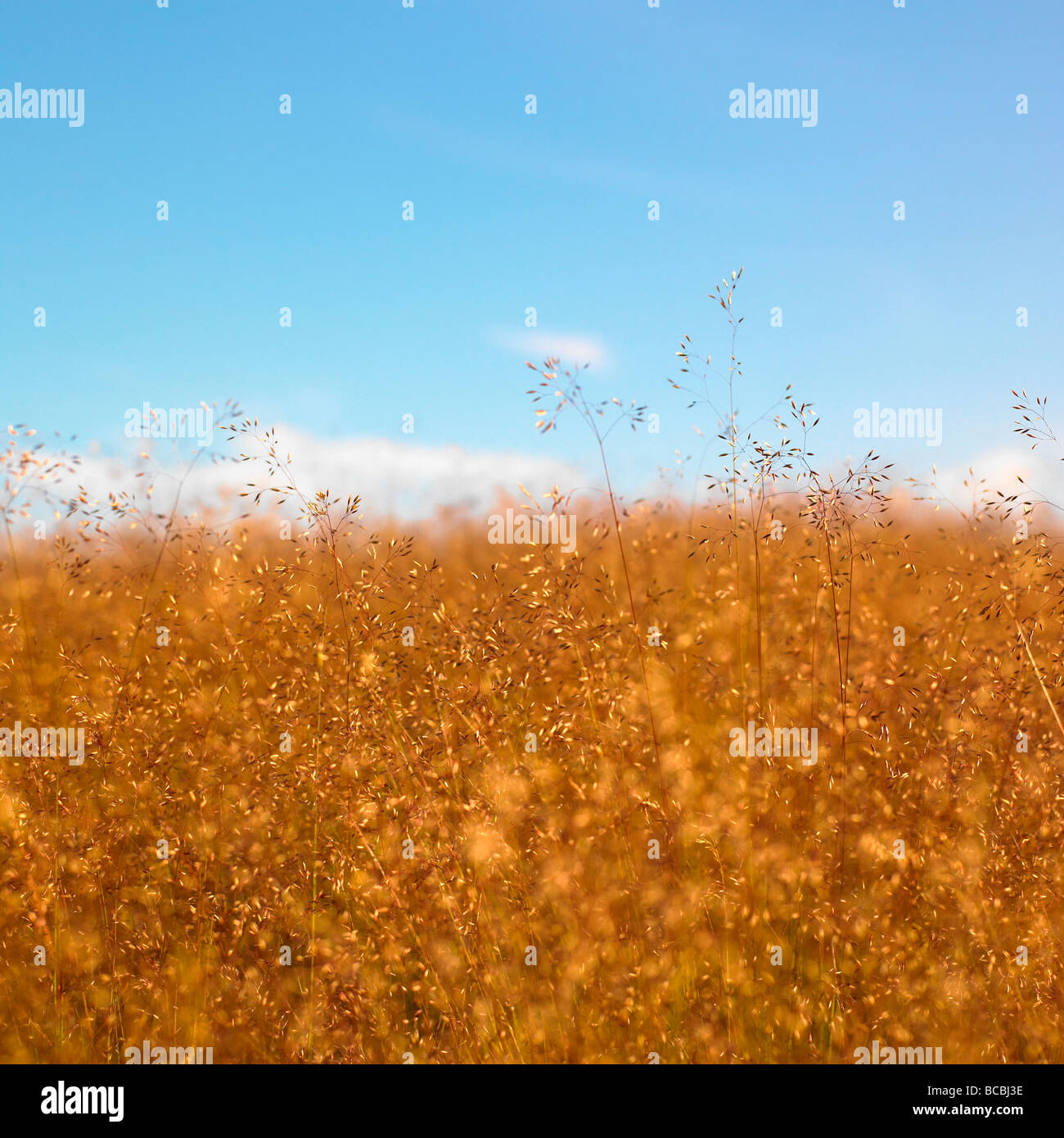 Grass seed heads with blue sky. - Stock Image