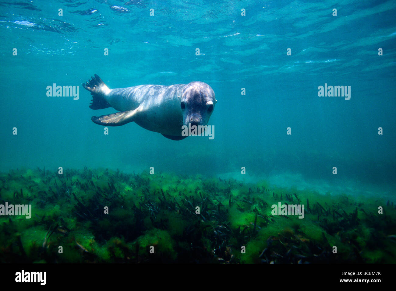 Sea Lion swimming underwater - Stock Image