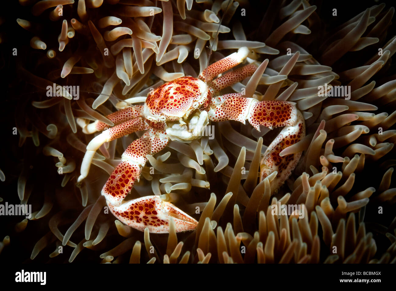 Porcelain crab - Stock Image