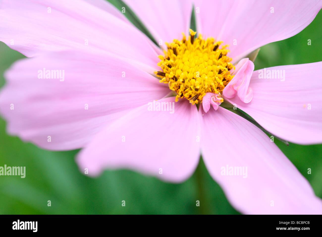 beautiful pink flower gorgeous fern like foliage cosmos sonata fine art photography Jane Ann Butler Photography - Stock Image