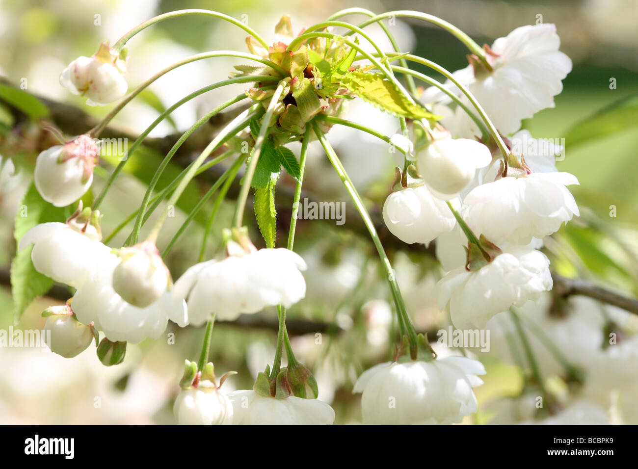 beautiful double gean blossom with its characteristic white drooping clusters fine art photography JABP471 - Stock Image
