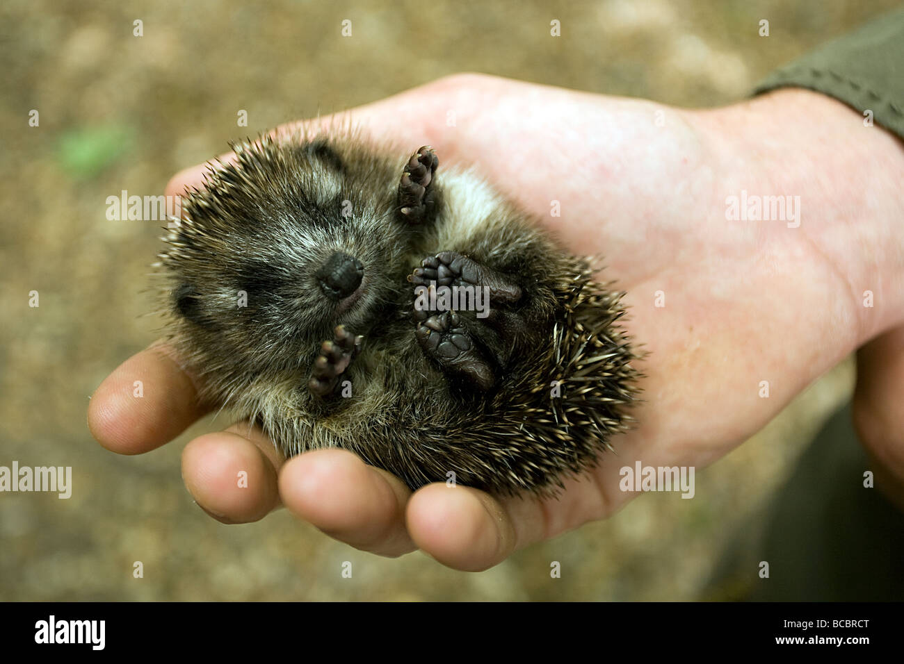 HEDGEHOG (Erinaceus europaeus) baby in the hands of a rescuer. Stock Photo