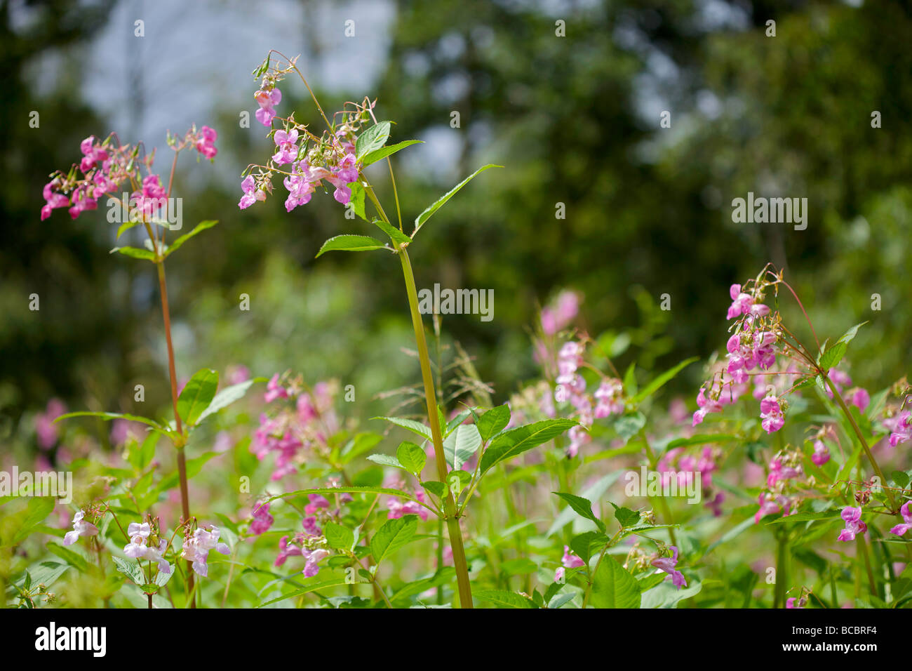 Himalayan Balsam - a very invasive weed - Stock Image