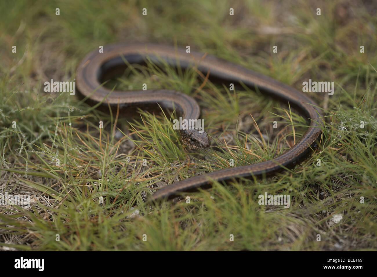 European slow worm Anguis fragilis or blindworm Stock Photo
