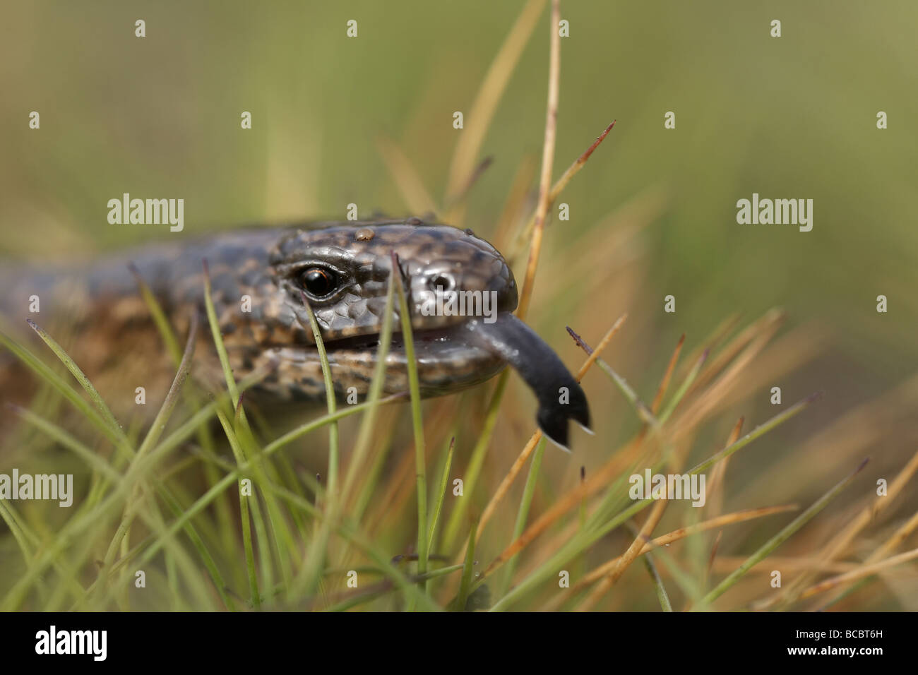 European slow worm Anguis fragilis or blindworm flicking tongue Stock Photo
