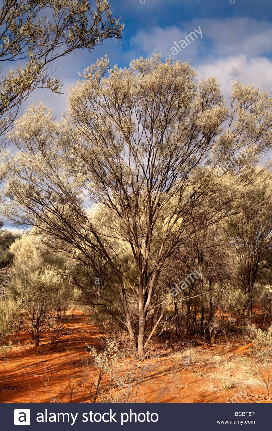 Mulga Acacia Aneura Along The Little Mountain Track Gundabooka Stock