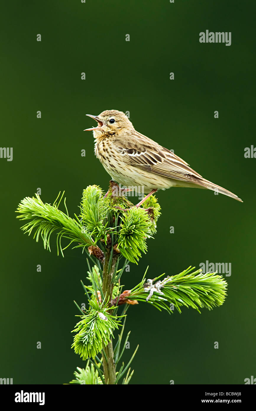TREE PIPIT (Anthus trivialis) singing from top of spruce tree Stock Photo
