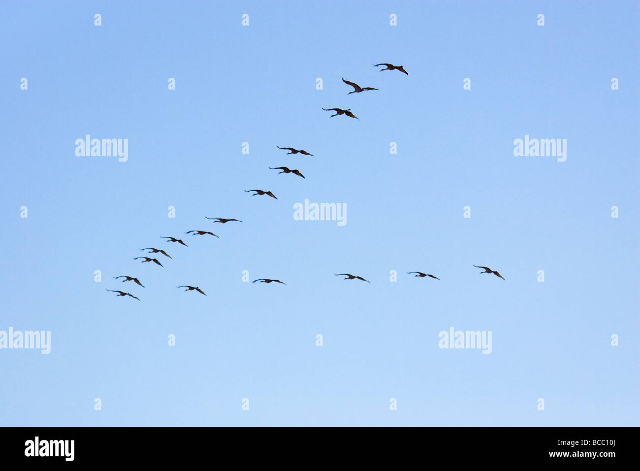 Sandhill Cranes Flying in V Formation, Bosque del Apache National Wildlife Reserve, New Mexico, USA - Stock Image