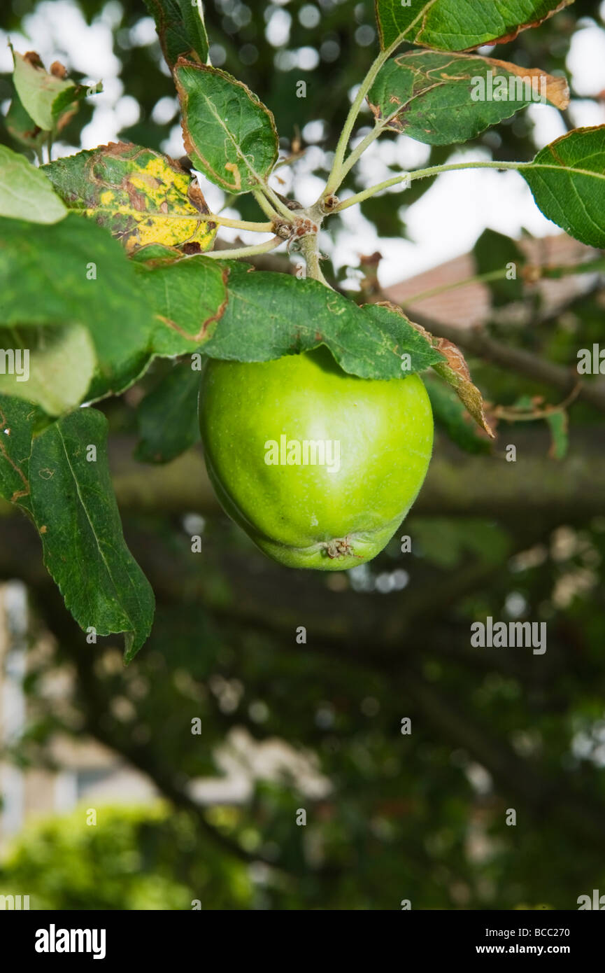 Bramley apple growing in early summer - Stock Image