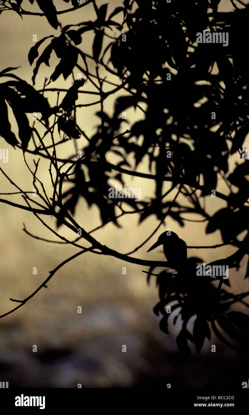 The silhouette of a Kingfisher roosting in a tree at sunset. - Stock Image