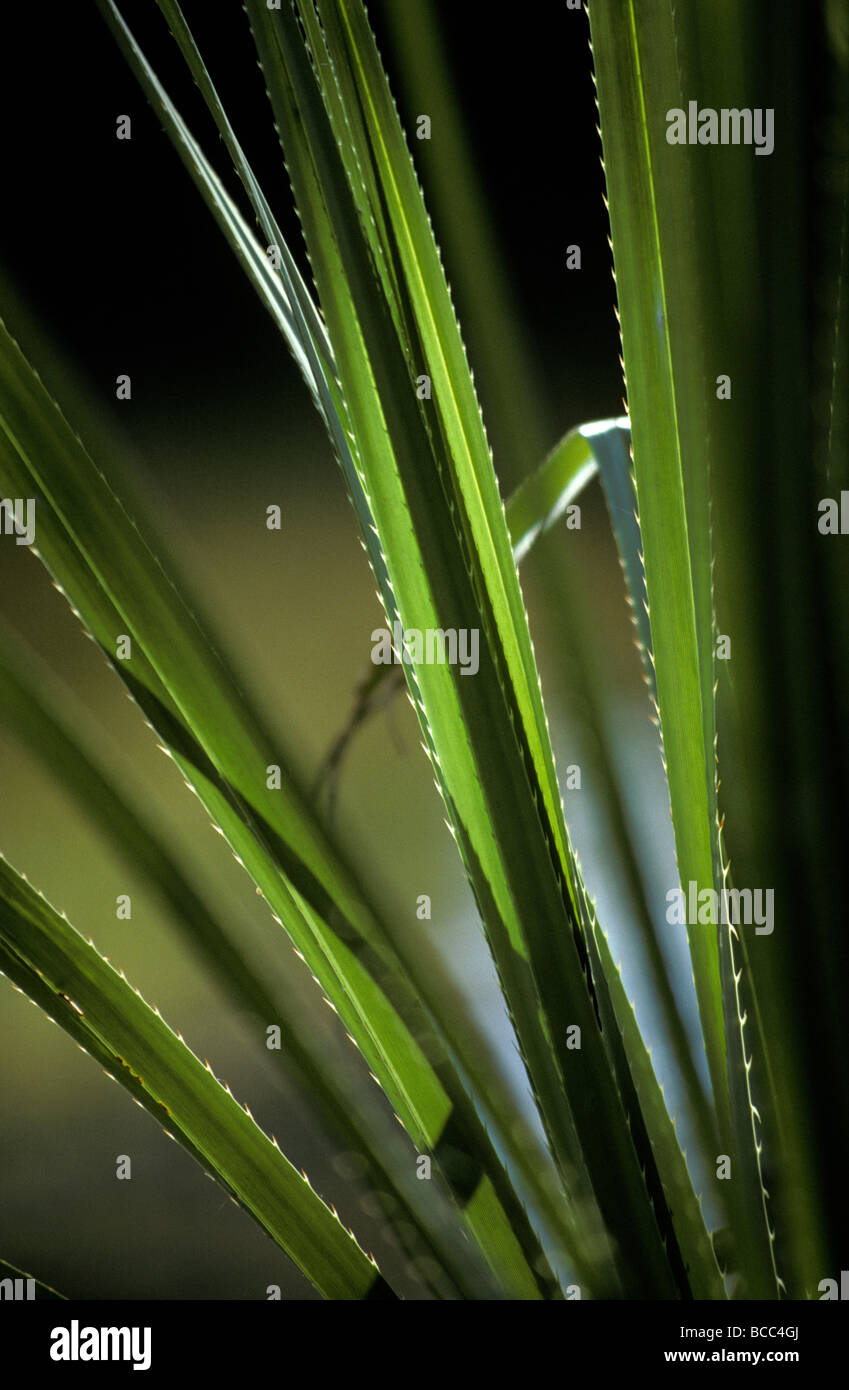 Sunset catches the bristling spiked edges of a river sedge leaf. - Stock Image