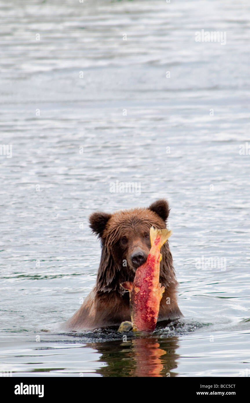 Grizzly Bear carrying salmon, Ursus arctos horriblis, Brooks River, Katmai National Park, Alaska, USA Stock Photo