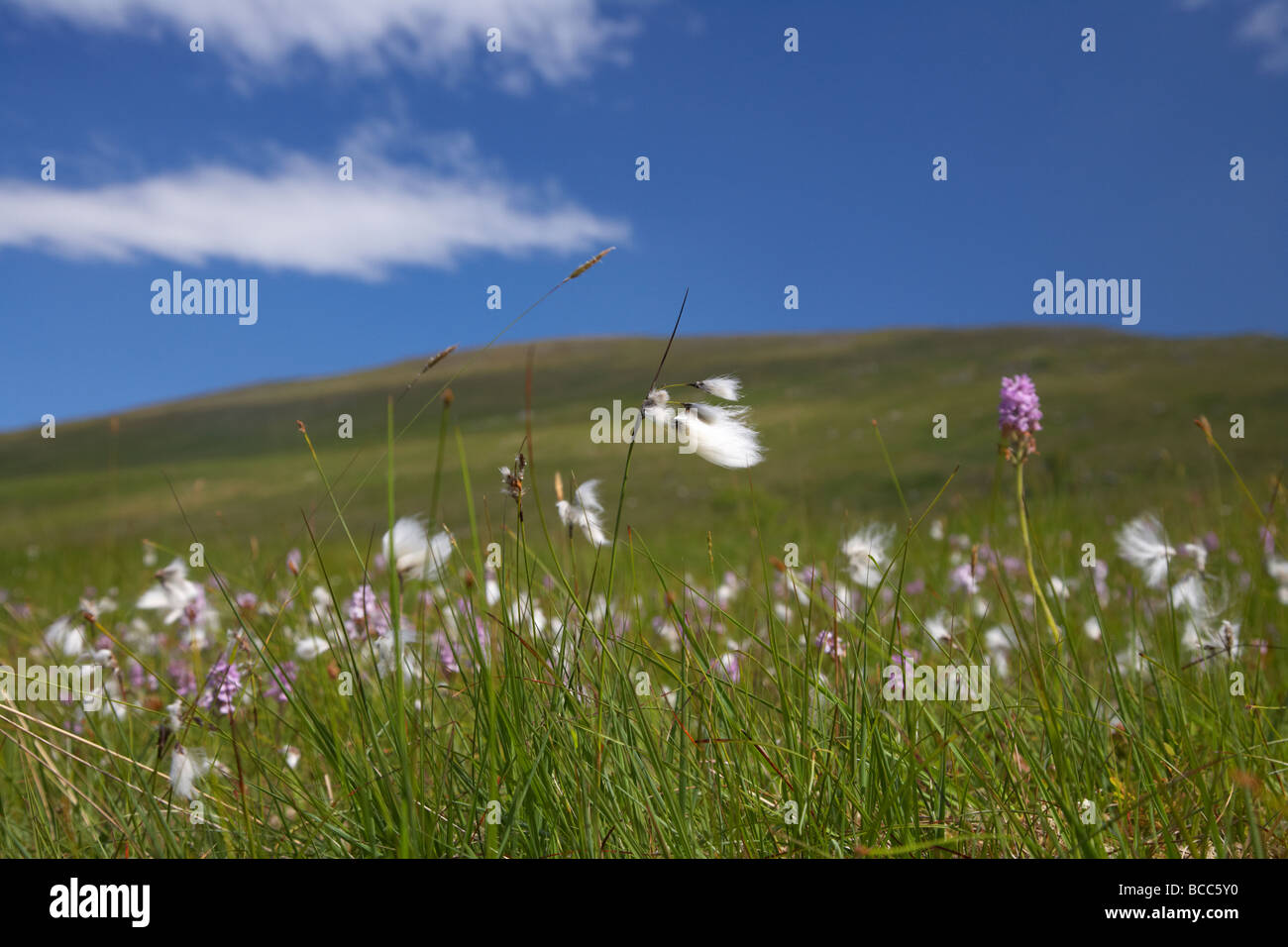 bog cotton cottongrass eriophorum growing with wildflowers on a mountain blanket peat bog in the north sperrins - Stock Image