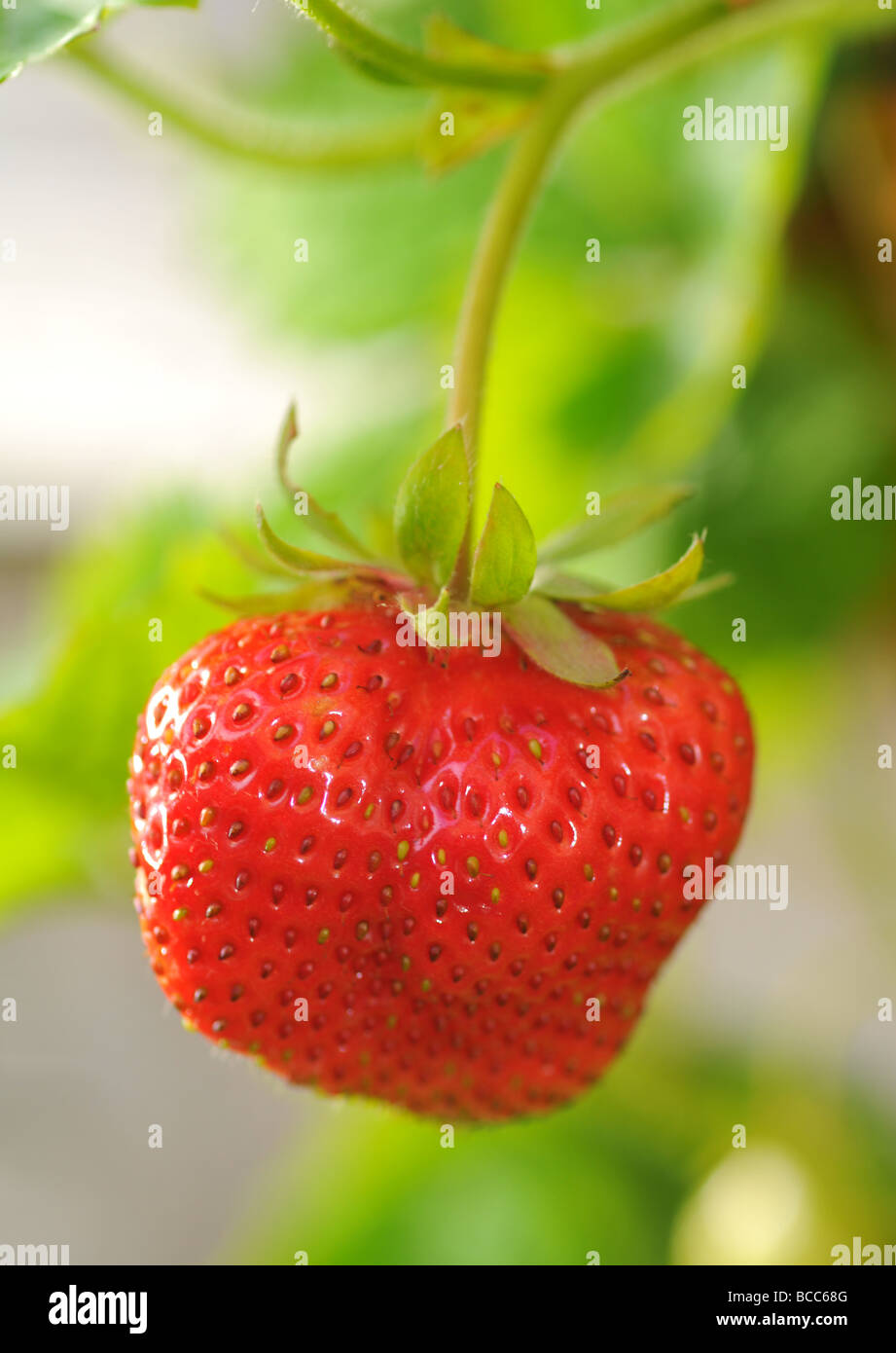 Strawberry, strawberries - Stock Image
