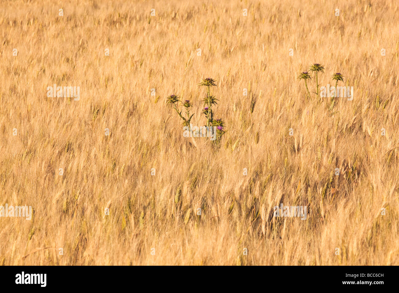 Thistles growing amongst field of wheat - Stock Image