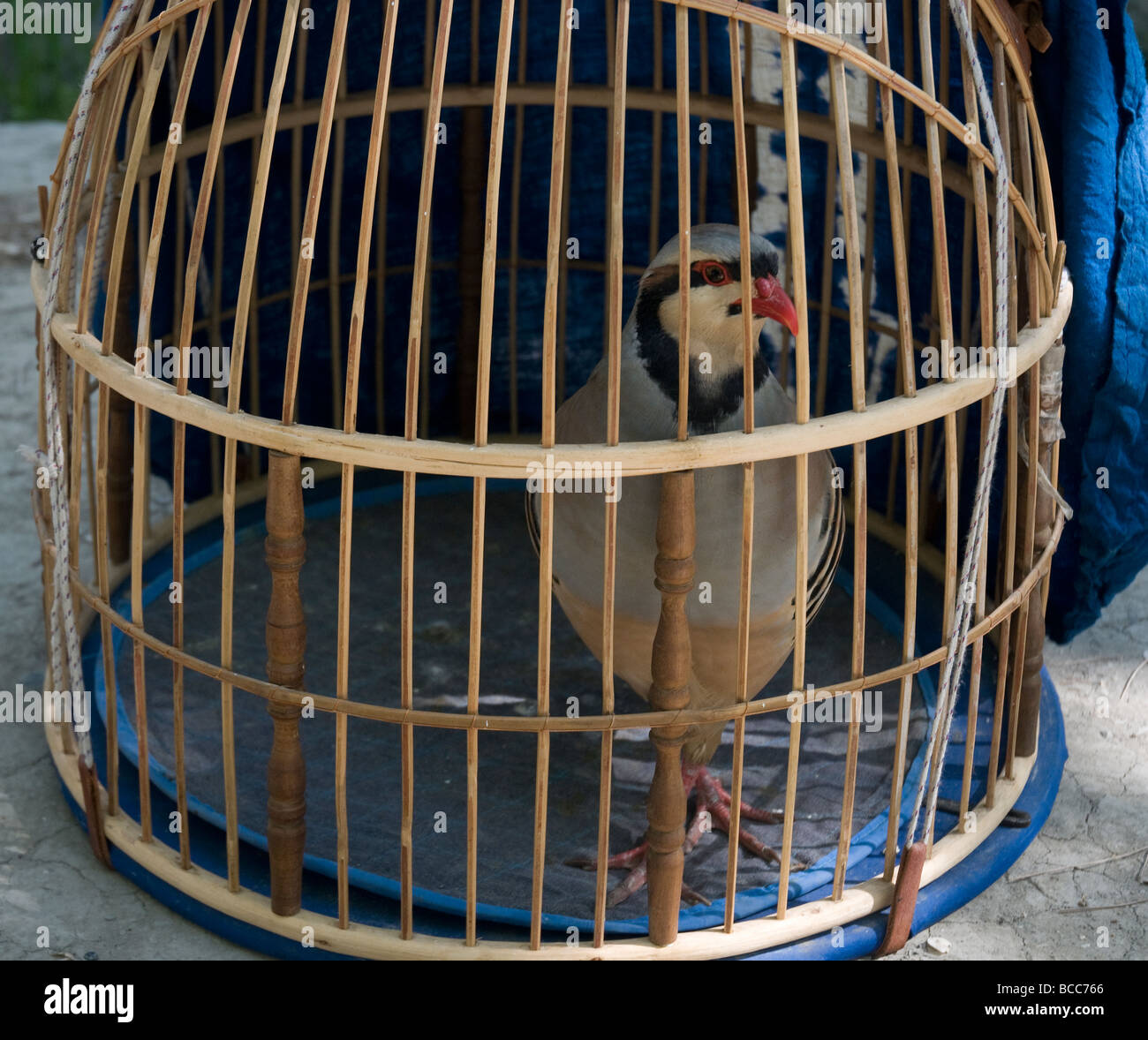 Domed wicker cages traditionally house costly fighting partridges, in Afghanistan a popular pastime - Stock Image