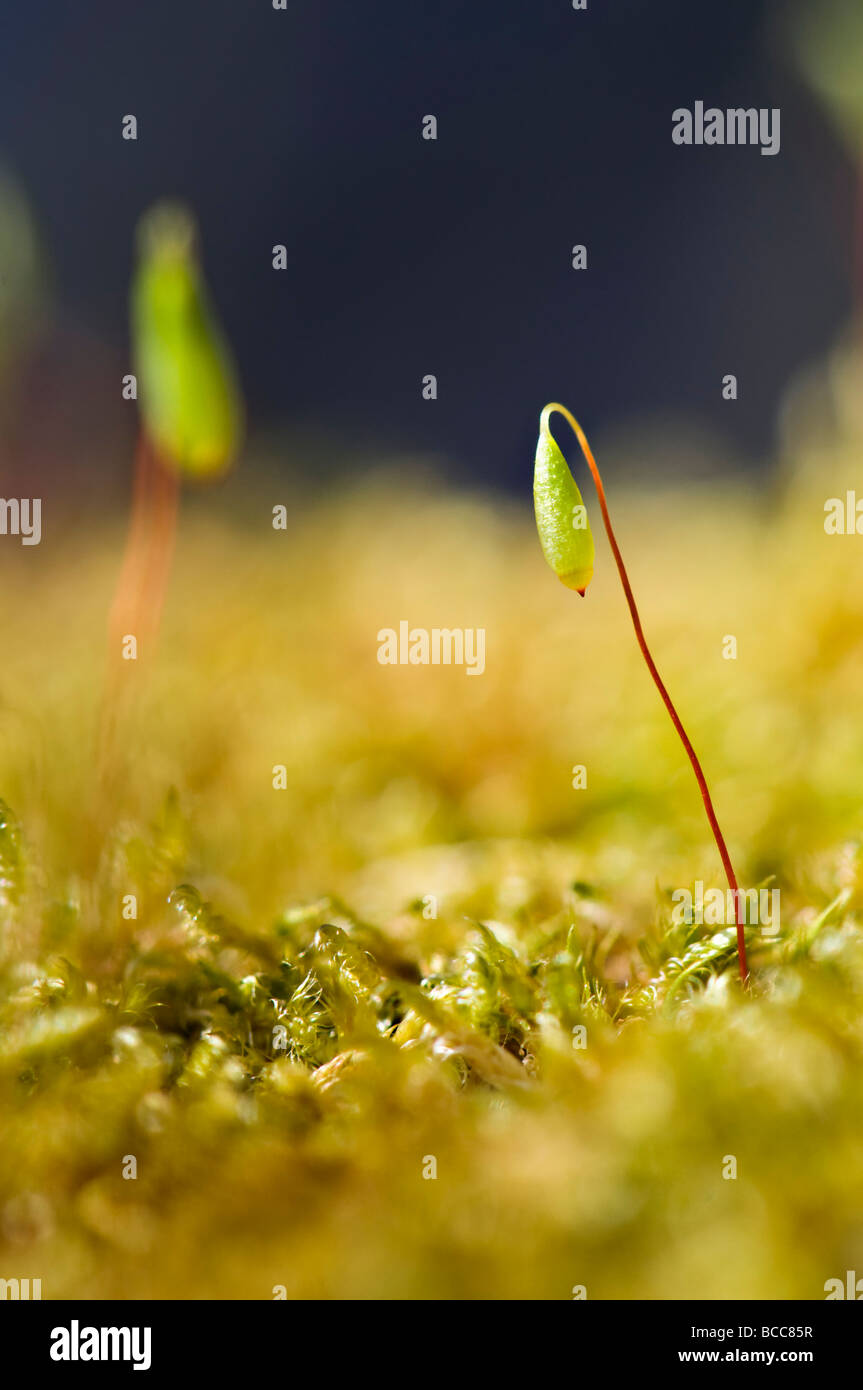 Extreme close up of tiny new moss spores shooting up in spring on bright sunny day - Stock Image