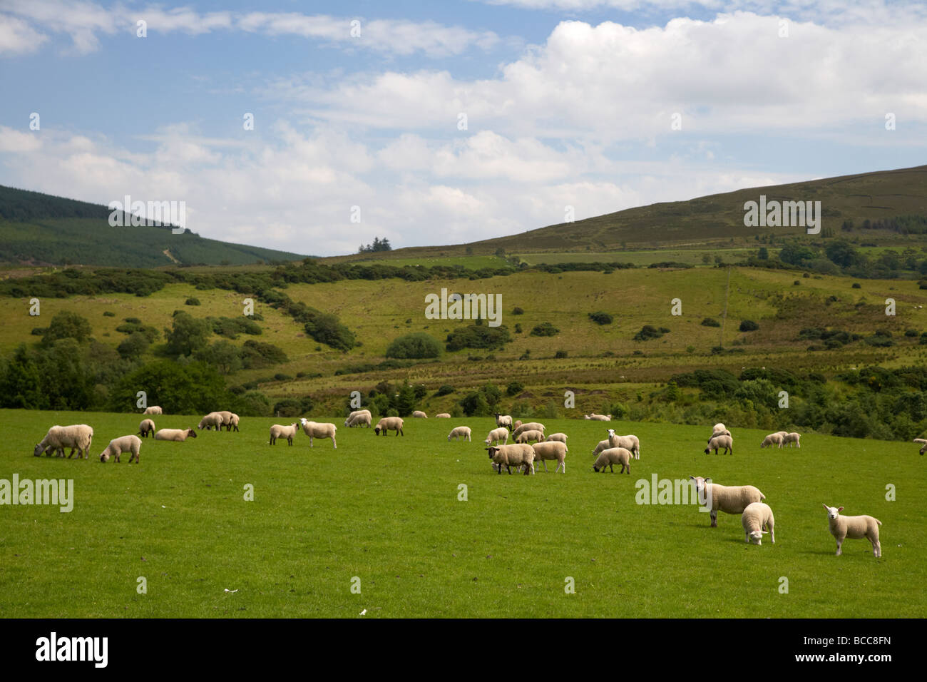 flock of sheep in a field on a hill farm in the sperrin mountains county derry londonderry northern ireland uk - Stock Image