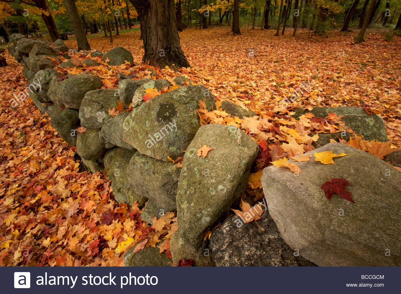 Fallen autumn sugar maple leaves on a stonewall. - Stock Image