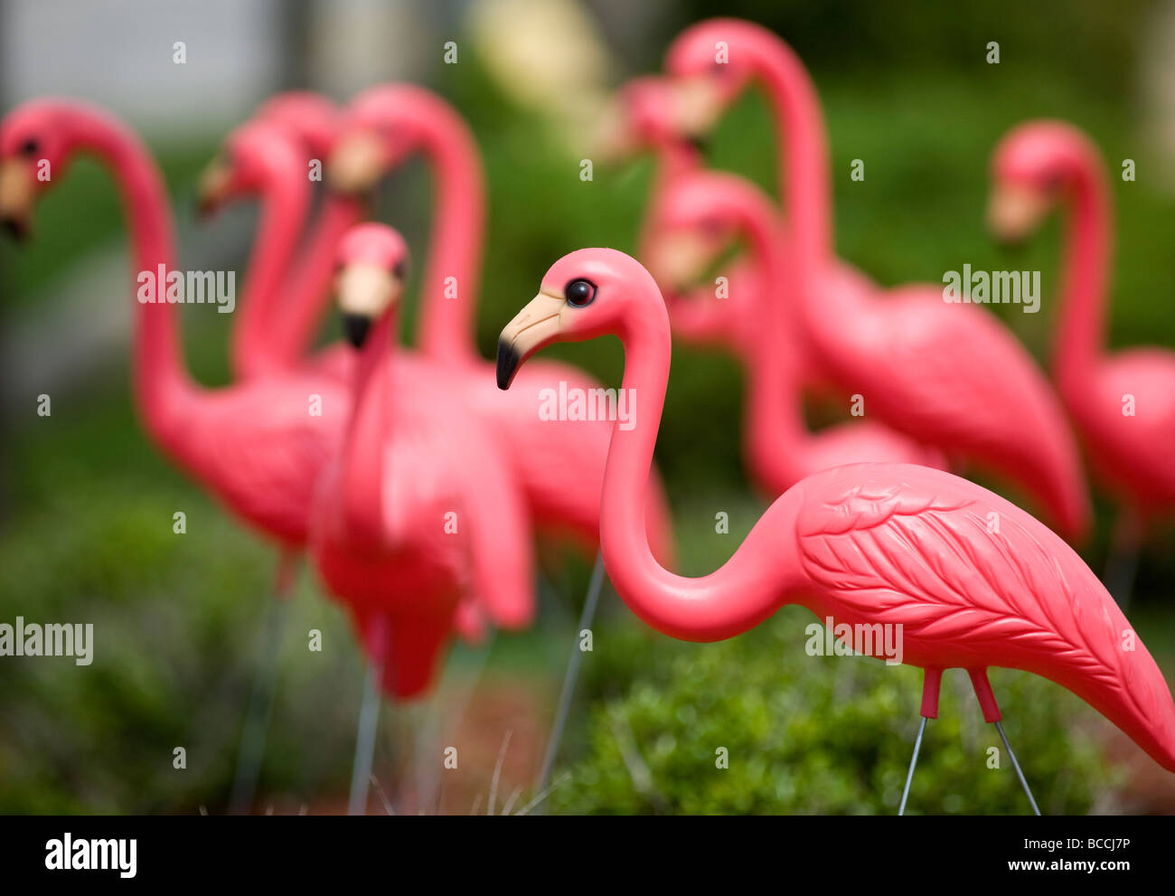 A flock of plastic pink flamingos decorate a lawn. - Stock Image
