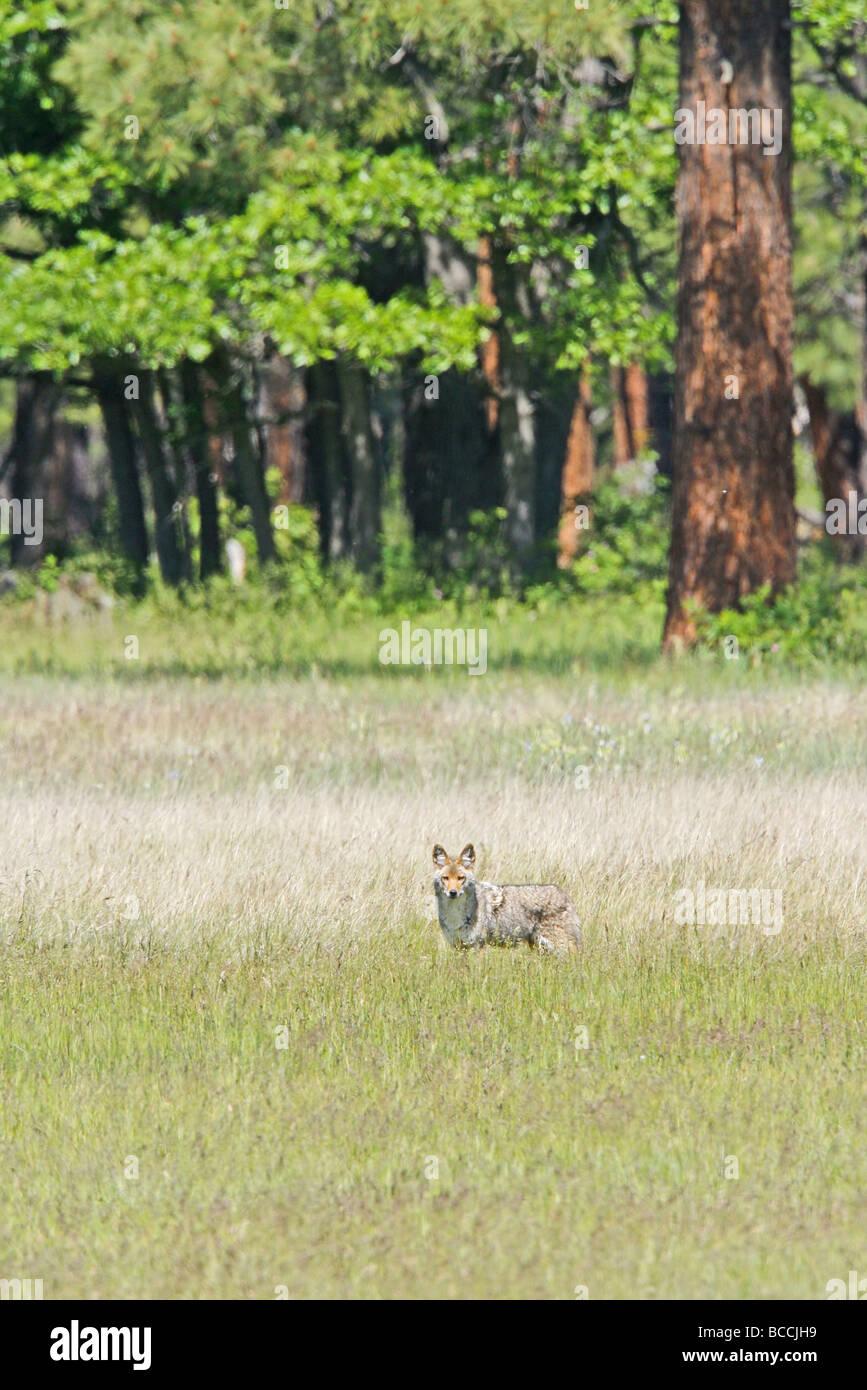 Coyote - Stock Image
