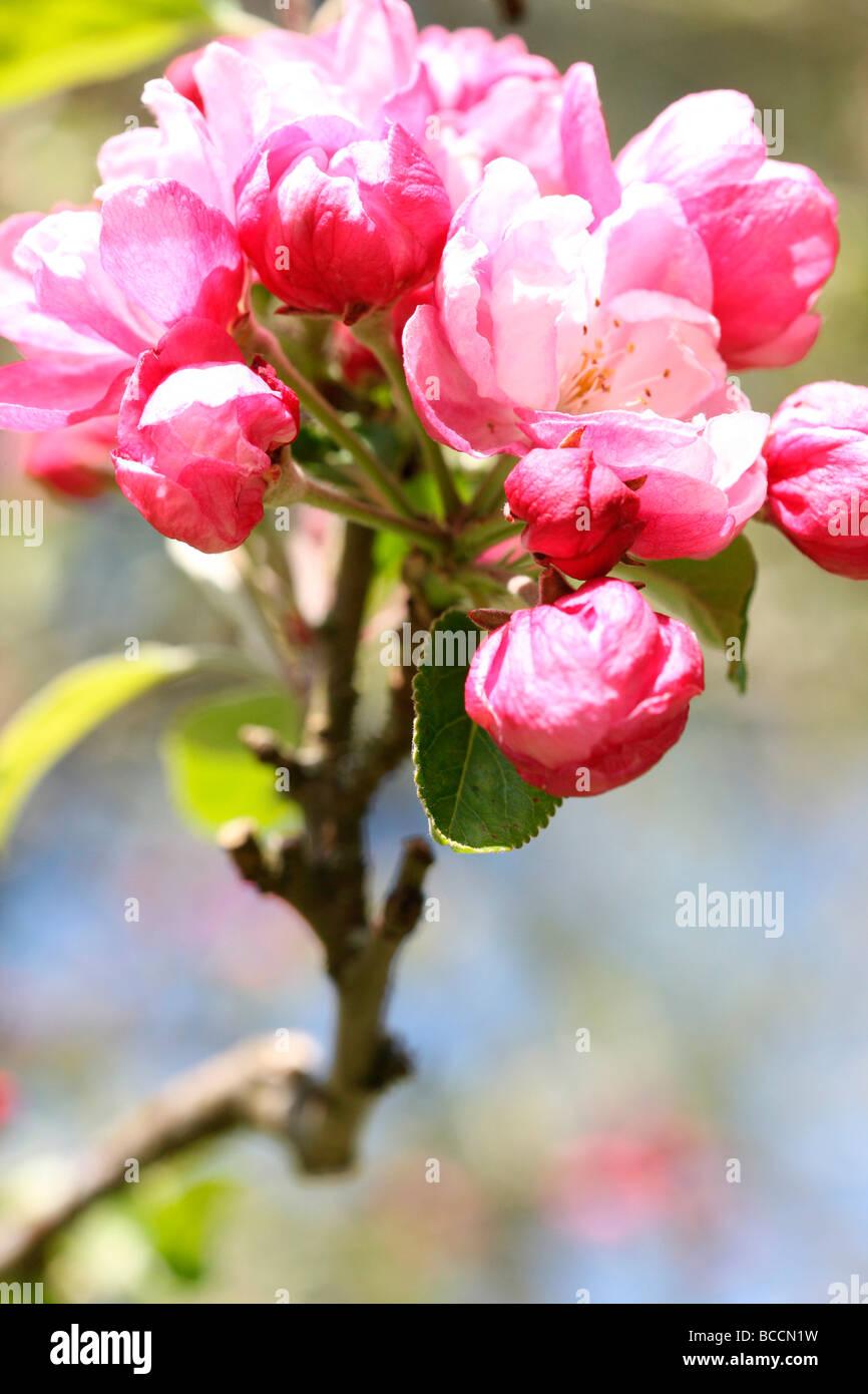 crabapple in full blossom fine art photography Jane Ann Butler Photography JABP467 Stock Photo