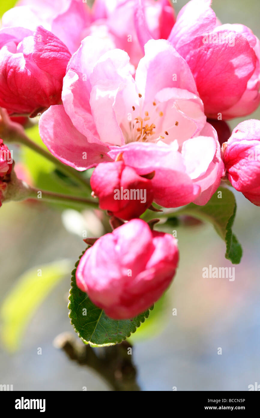 crabapple in full blossom fine art photography Jane Ann Butler Photography JABP466 Stock Photo