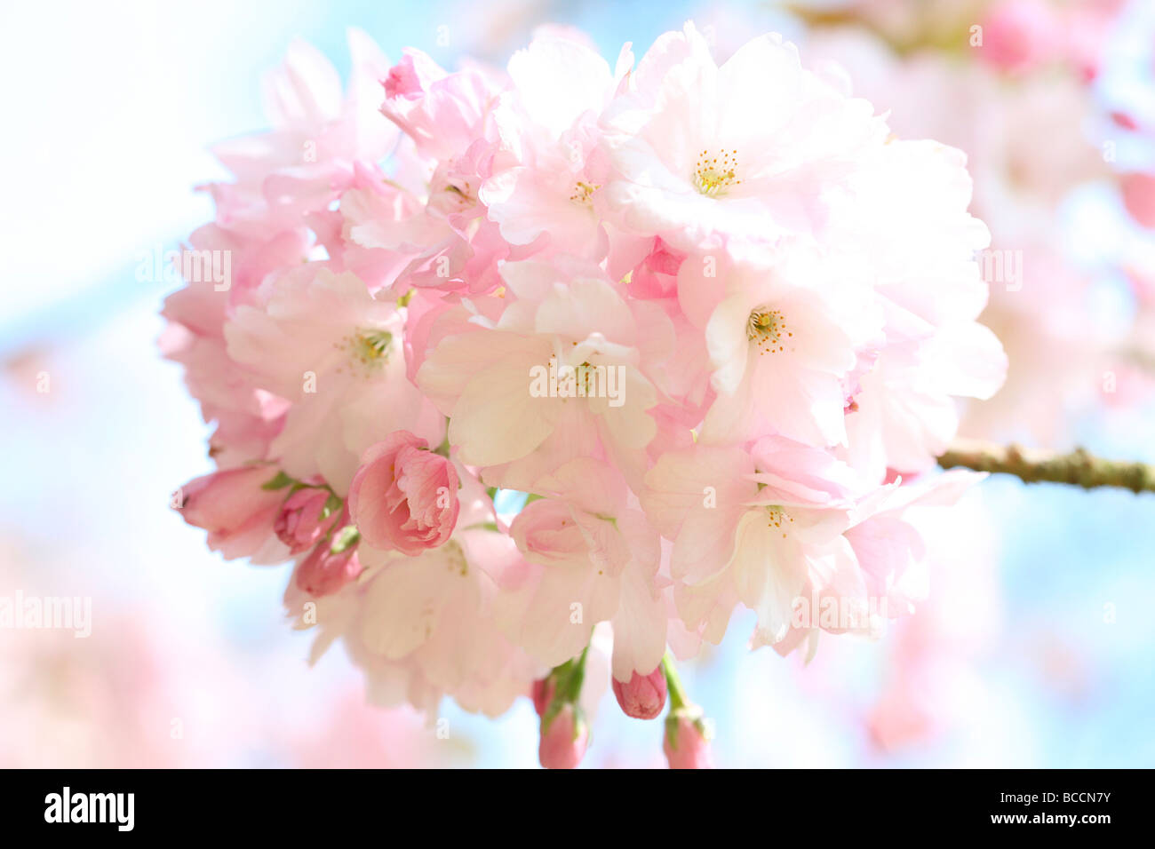 beautiful japanese cherry sakura fine art photography Jane Ann Butler Photography JABP465 - Stock Image
